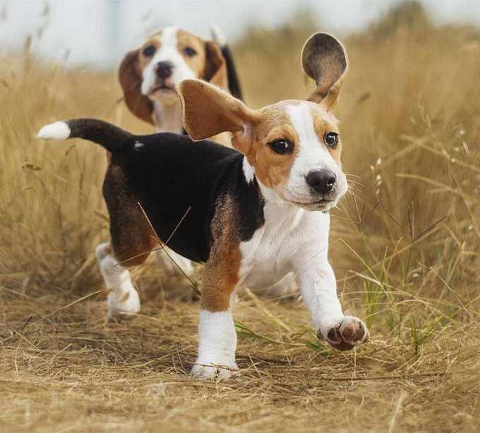Hunting Beagle Names