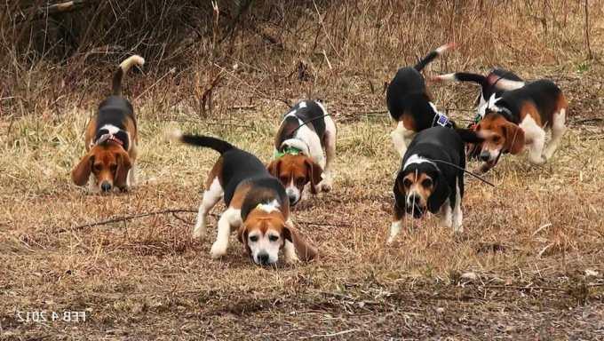 Hunting Beagle