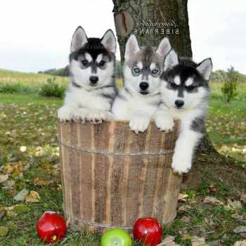 Husky Adoption Pa