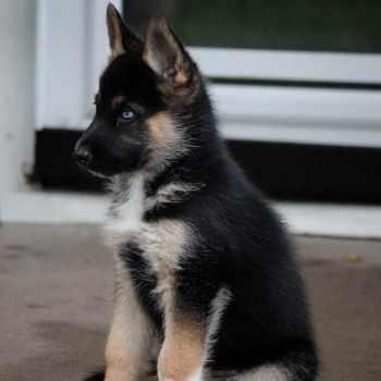 Husky And German Shepherd Mix Puppy