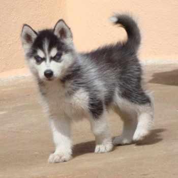 Husky Dog Prices