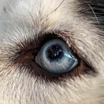 Husky Eye Problems