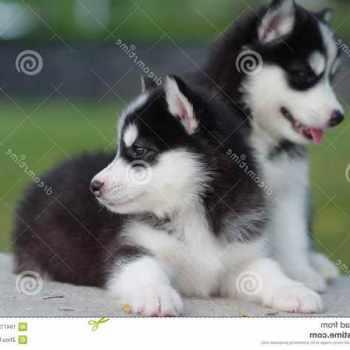 Husky For Free