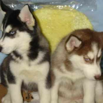 Husky For Sale In Ma