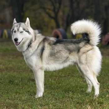 Husky Hybrid Wolf