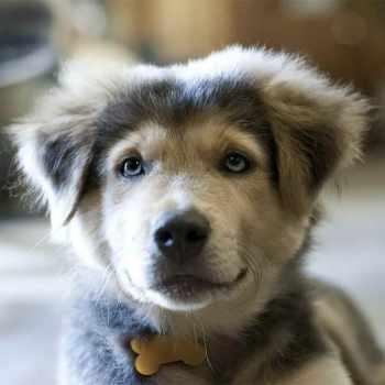 Husky Mix Breed