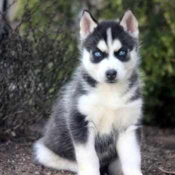 Husky Mix Puppies For Sale In Pa
