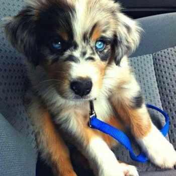 Husky Poo Puppies