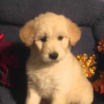 Husky Poodle Mix Puppies For Sale