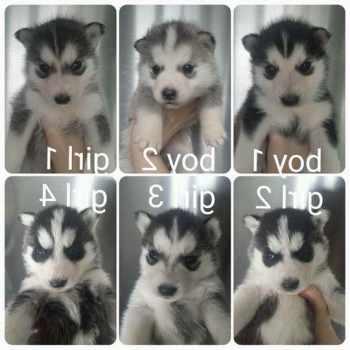 Husky Pup For Sale