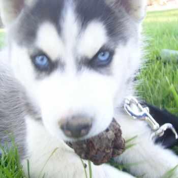Husky Puppies Colorado