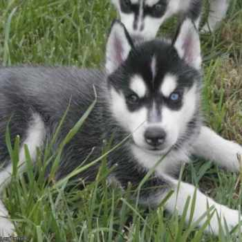 Husky Puppies For Adoption In Md
