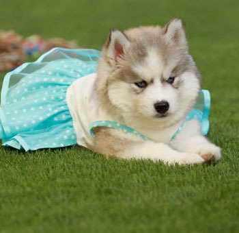 Husky Puppies For Sale Buffalo Ny