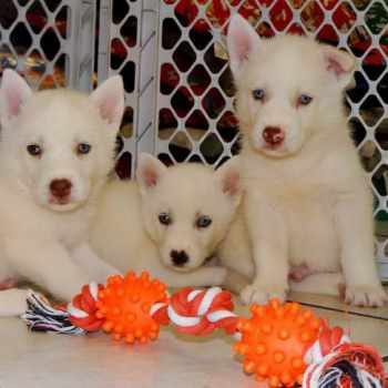 Husky Puppies For Sale In Ca