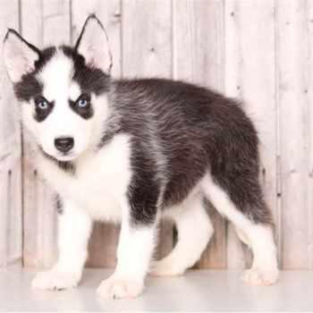 Husky Puppies For Sale In Columbus Ohio