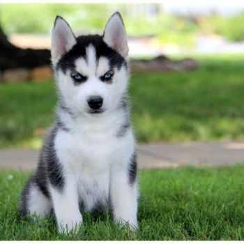 Husky Puppies For Sale In Dayton Ohio