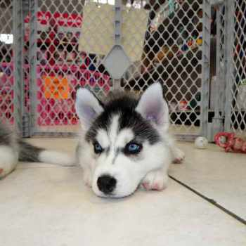 Husky Puppies For Sale In Houston Craigslist