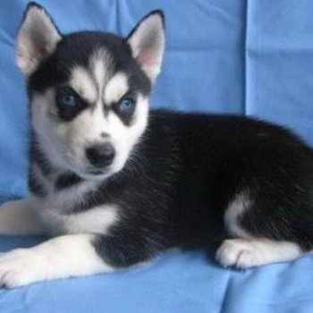 Husky Puppies For Sale In Nebraska