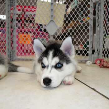 Husky Puppies For Sale Near Me Craigslist
