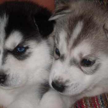 Husky Puppies Maryland