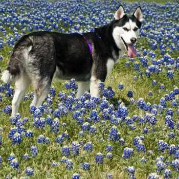 Husky Spring