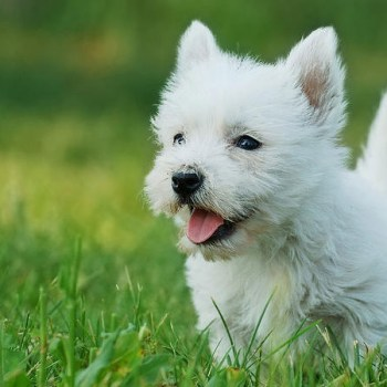 How Much Are West Highland White Terrier