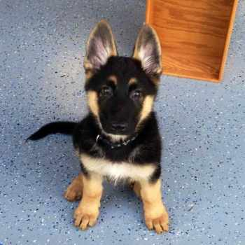 How Much Do Purebred German Shepherd Puppies Cost
