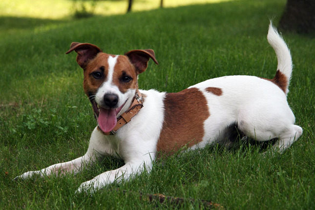 How Much Does A Jack Russell Terrier Cost