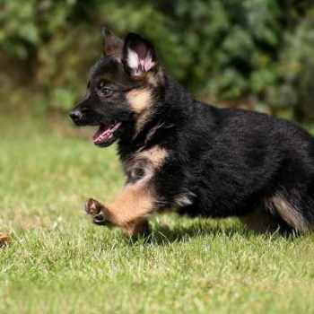 How Much Does A Purebred German Shepherd Cost