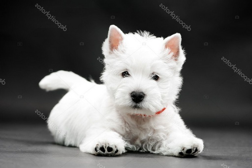 How Much Does A West Highland White Terrier Cost