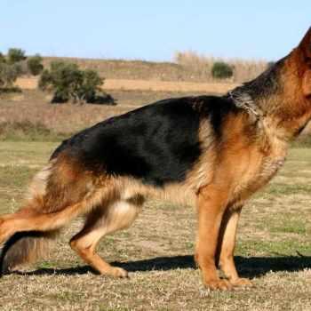 How Much German Shepherd Cost