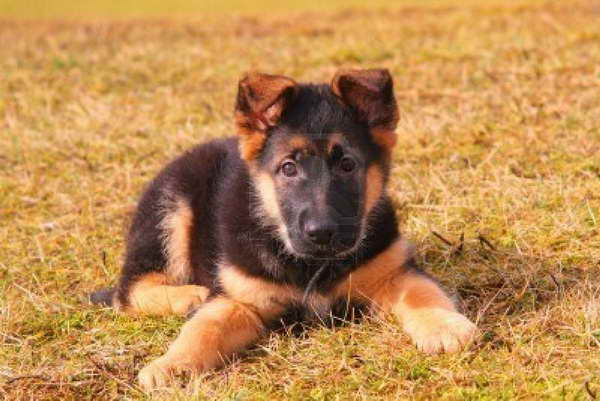 How Much German Shepherd