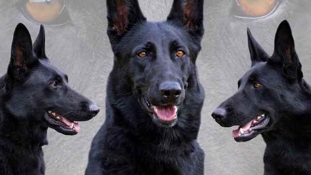 How Much Is A Black German Shepherd