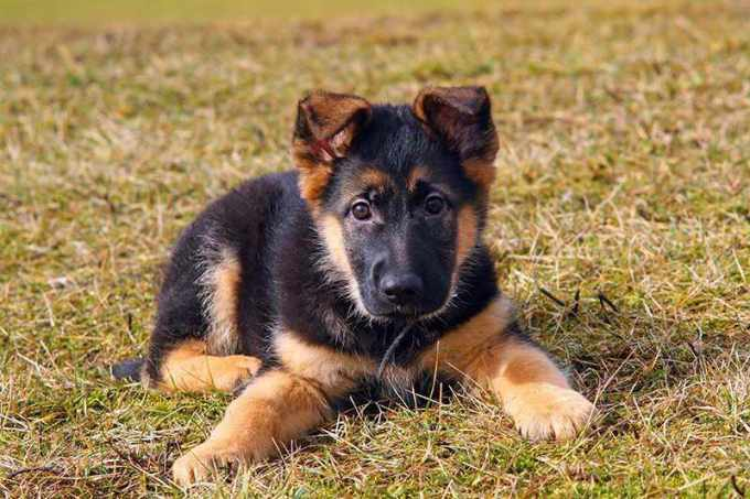 How Much Is A German Shepherd Puppy Worth