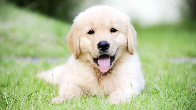 How Much Is A Golden Retriever Puppy Cost