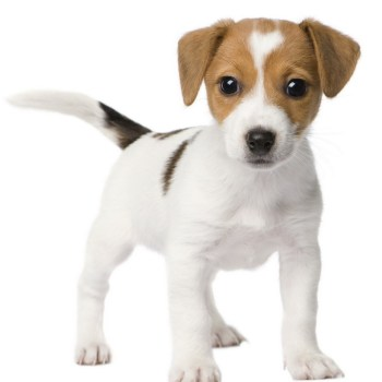 How Much Is A Jack Russell Terrier Puppy