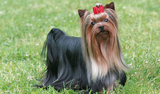 How Much Is Yorkie Terrier