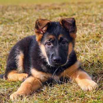 How Much Money Is A German Shepherd Puppy