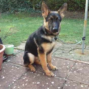 How Much Should A 4 Month Old German Shepherd Eat