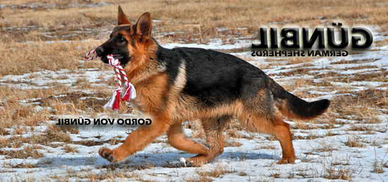 How Much Should A German Shepherd Eat A Day