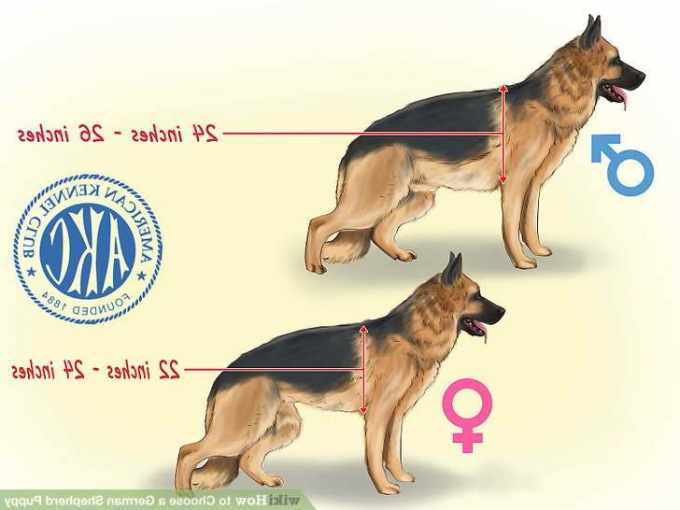 How To Pick A German Shepherd Puppy