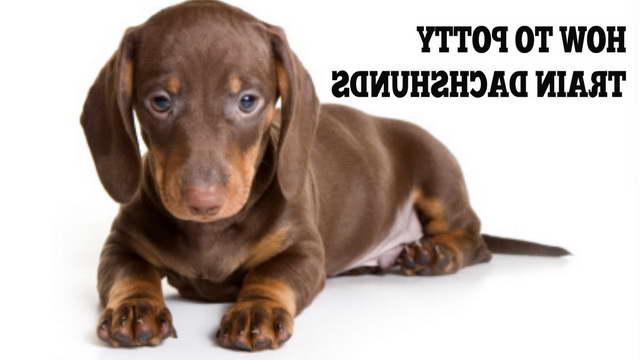 How To Potty Train A Dachshund Puppy