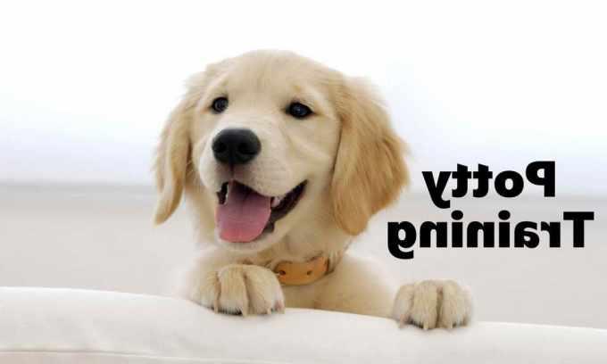How To Raise A Golden Retriever Puppy