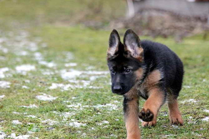How To Take Care Of A German Shepherd