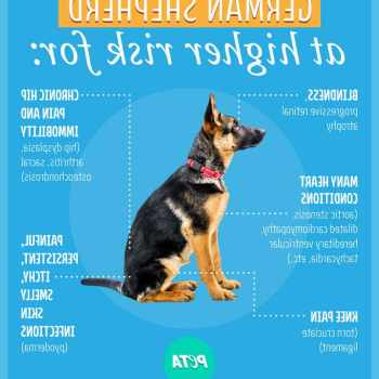 How To Tell If Your German Shepherd Is Purebred