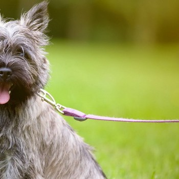 How To Train A Cairn Terrier