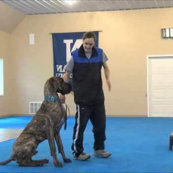 How To Train A Great Dane