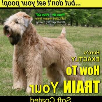 How To Train A Wheaten Terrier