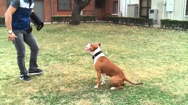 How To Train American Staffordshire Terrier
