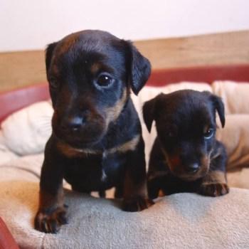 Hunt Terrier Puppies For Sale